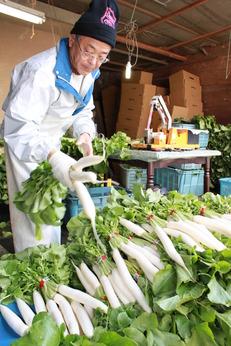 <10日間の勤務>短期集中で、祝大根の収穫・出荷作業のお手伝いを求めています。