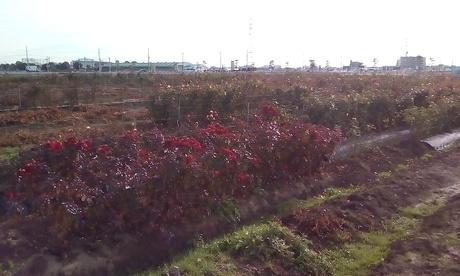 バラの苗木を作っています。栽培のお手伝いをお願いします。